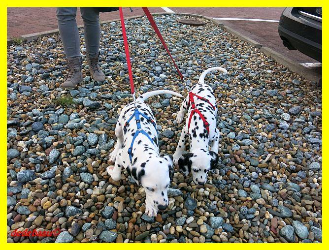 Dalmatiner Und Weisse Schweizer Sch 228 Ferhunde 12 Woche